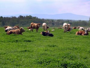 Krave-na-ispasi