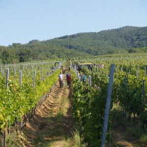 vinogradarstvo10