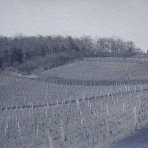 vinogradarstvo11